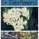Foraging for Elderberries & Elderflowers: Identification, Look-alikes, & Uses
