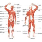 A4 Poster   Muscle Layout of The Human Body Picture Anatomy Medical Health Art   eBay