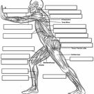Label the Muscles of the Body - Side View
