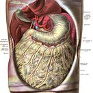 The Omentum and Abdominal Fat: Health Benefits and Problems
