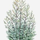 Illustration Of Artemisia Vulgaris (mugwort) Bearing Yellow Flowers And Silver-green Leaves On Tall Stems by Liz Pepperell