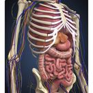 25cm Photo. Human midsection with internal organs