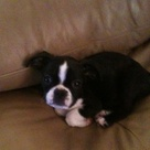 Boston Terrier Pug
