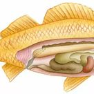 A1 Poster. Illustration of fish with cross section showing