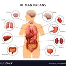 Human body internal organs stomach and lungs vector image on VectorStock