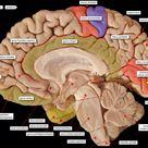 brain midsagittal view labels