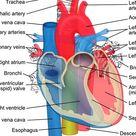 Functions and Anatomy of the Inferior Vena Cava in humananatomybody.com