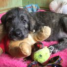 Irish Wolfhound Puppies
