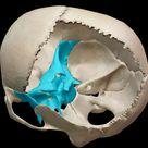 3D Skeletal System Function of the Sphenoid