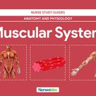 Muscular System Anatomy and Physiology - Nurseslabs