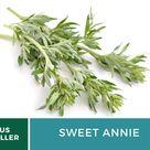 Sweet Annie Organic   50 Seeds    Medicinal Herb   GMO Free  Artemisia annua