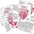 Herz Aufbau Schule