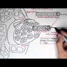 Myology - Skeletal Muscle (Structure)