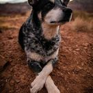 10 Things You Should Know About the Blue Heeler Pointer Mix | Your Dog Advisor