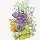1970s Anne Dowden February Crocus and Snowdrop Botanical   Etsy