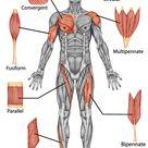 Shapes of Skeletal Muscle - TeachPE.com