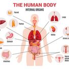 The Human Body Internal Organs Science Home School Learning   Etsy