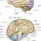 Chapter 16. Brain | The Big Picture: Gross Anatomy | AccessMedicine | McGraw-Hill Medical