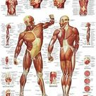 Human Muscle Chart Medical Poster Print Choose your size Unframed.