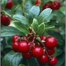 Try Growing Your Own Medicinal Fruit Shrubs With a Common Elderberry