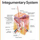 Integumentary System Anatomy and Physiology - Nurseslabs