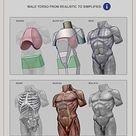 Male torso, Anatomy For Sculptors