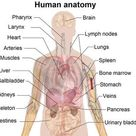 body map of organs, Norton Safe Search