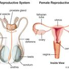 human reproductive system | Definition, Diagram & Facts