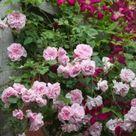 Rose und Clematis zusammen pflanzen: Schöne Kombinationen