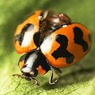 Coccinellidae - Wikipedia, the free encyclopedia