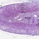 Adrenal gland - Wikipedia