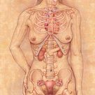 10 inch Photo. Front view of the female anatomy hilighting the endocrine system