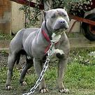 Pit Bull Terriers