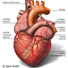 Anatomie und Funktion des Herzens