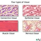 Epithelial tissue protects underlying structures acting as barriers permitting the passage of substa
