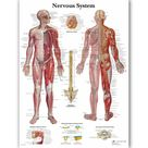 Human Nervous System Chart Poster Map Canvas Painting Wall Pictures for Medical Education Doctors Office Classroom Home Decor - 70x90cm no frame
