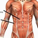 Rectus Abdominis Muscle Detail :  8 Pack Muscle