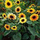 Planting Sunflowers