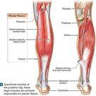 Groin Muscle Anatomy Diagram