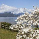 Framed Photo. USA, Washington State, Scenic Beach State Park. Magnolia tree flowers and Hood Canal