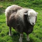 Sheep Breeds