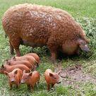 Svinja mangulica, mnogo više od kulinarskog pomodarstva