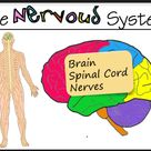 Stimulus and Response - The Nervous System