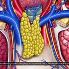 Gross anatomy of Thymus   Location and Relations