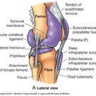 Anatomy Knee  Flashcards | Chegg.com