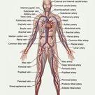 Circulatory System - The Definitive Guide | Biology Dictionary
