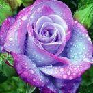 stifling remose roses seeds -  20 seeds - code 199 -purple pink rose