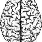 human brain, top view