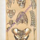 Skeleton Man Human Anatomy 1908 Original Vintage Edwardian Era Antique Medical Chart  To Frame