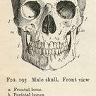 6 Skull Images - Vintage Anatomy Clip Art - Bones - The Graphics Fairy